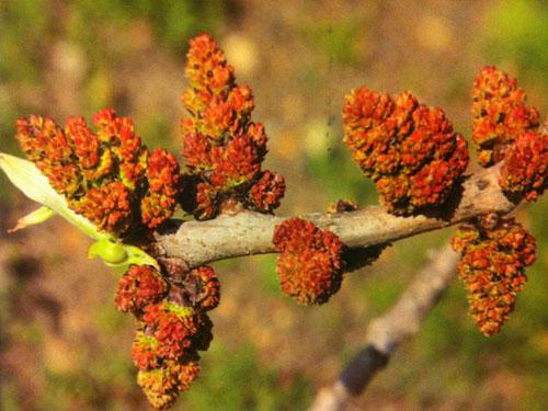 Male pistachio tree