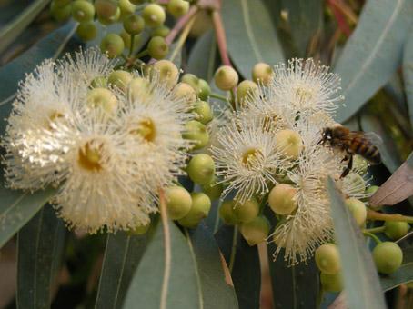 Miele di Sicilia Eucaliptus