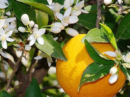 Miele di Sicilia Zagare d'Arancio