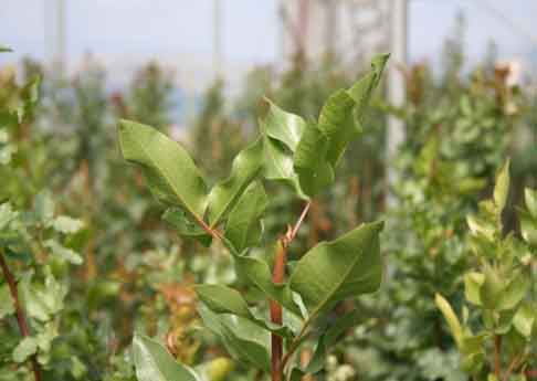 Pistazien Baum
